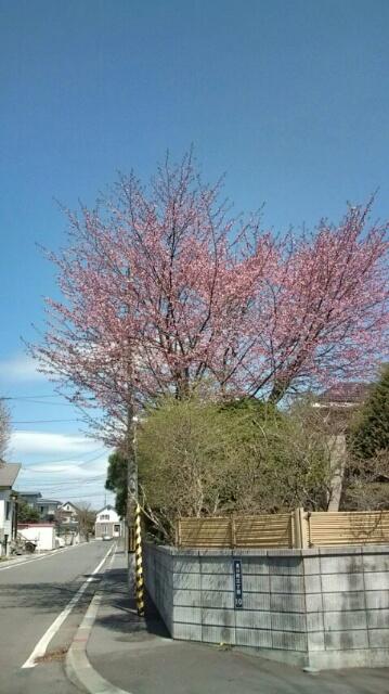 昨年5月13日の桜