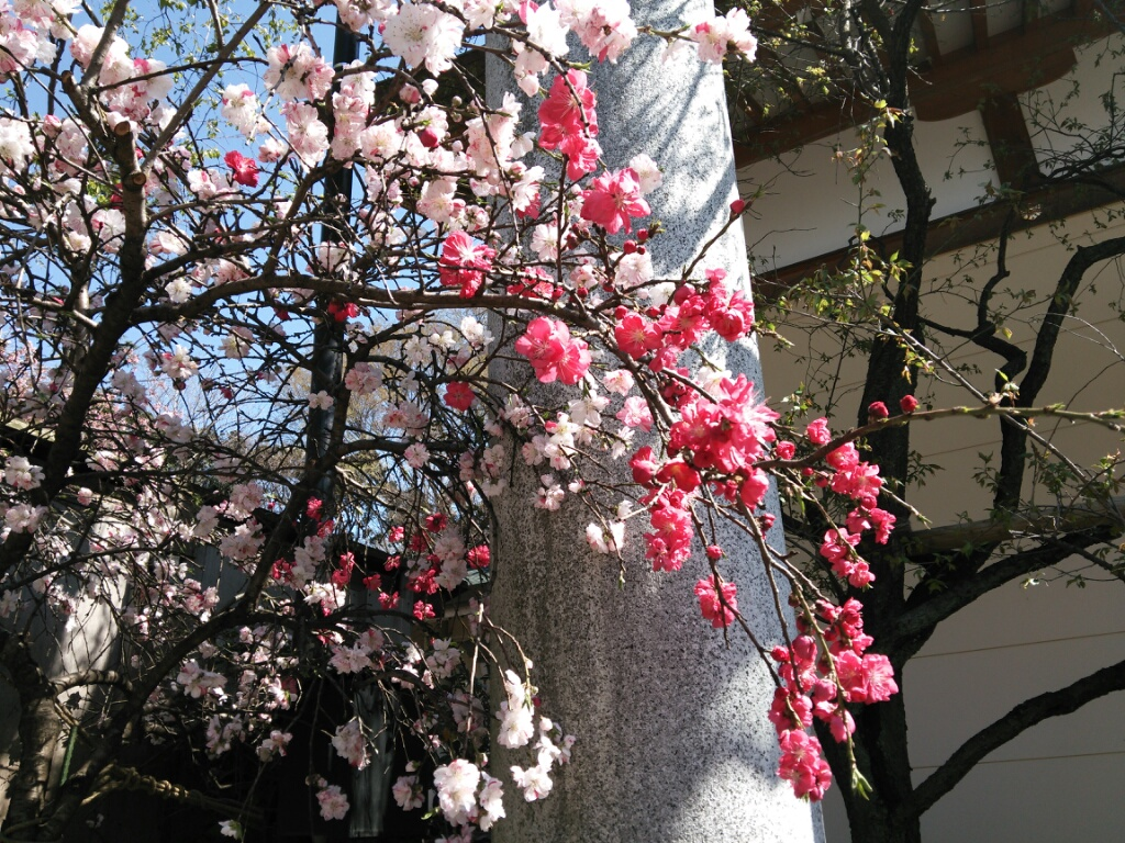 咲いたよ桜