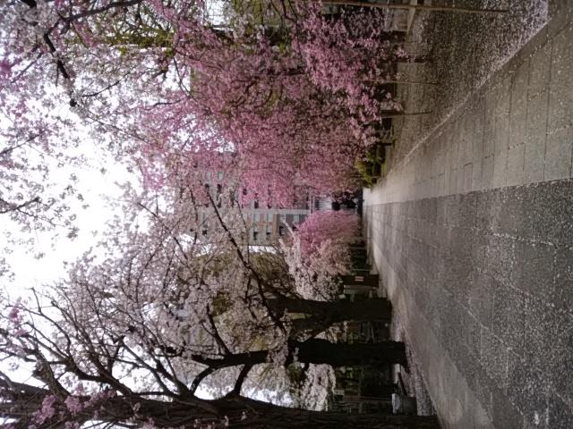 吉祥寺の桜